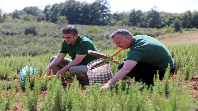 2,6 milyon biberiyenin hasadına başlandı