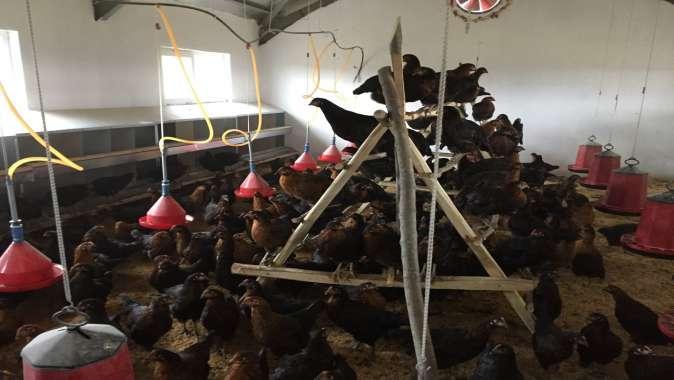 Büyükşehir'den çiftçilere gezen tavuk desteği