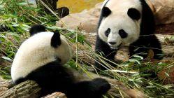 Çinli panda Fransa'da ikiz doğurdu, biri yaşadı