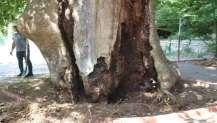İzmit'teki Çınar ağacının bakımı yapılıyor