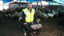 Koyunlar, yağış nedeniyle strese girip zayıfladı!