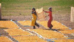 Malatya'da Kurutulmak Amacıyla Serilen Kayısılar Şehri Sarıya Boyadı