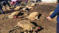 Siverekte 90 koyun telef oldu