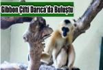 Türkiye'nin ilk beyaz yanaklı Gibbon çifti Darıca'da buluştu
