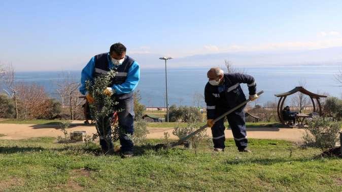 Yeşil alanlara 15 yılda 100 Bin zeytin fidanı