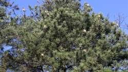 Büyükşehir ağaçları korumak için sahada